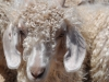 angora-goat-a-local-beauty-kamferskraal-2011