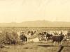 nelspoort-sheep-getting-water-c-1914
