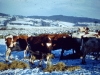 painswick-cows-in-heavy-snowfall