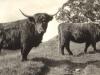 glen-lyon-highland-cattle-1913
