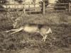 glen-lyon-stag-shot-in-cornfield-aug-1915