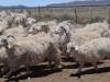 kamferskraal-angora-goats-opening-time