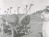 kamferskraal-effie-anderson-with-the-ostriches