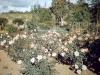 lolomarik-roses-and-the-bush-beyond