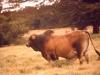 marania-a-fine-bull