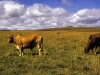 marania-cattle-country