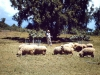 marania-sheep-at-their-best-possibly-george-murray-standing