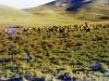 marania-sheep-in-upper-reaches-of-the-farm