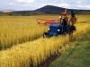 marania-wheat-bringing-it-in