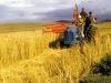 marania-wheat-harvesting-the-crop
