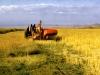 marania-wheat-harvesting