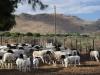Karoo-sheep-in-kraal-at-three-sisters-2011