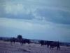 kenya-african-buffalo