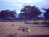 kenya-hyena-on-the-look-out-near-marania