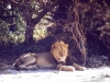 kenya-lion-near-marania