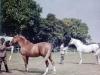 kenya-polo-ponies