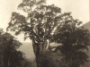 tsitsikama-forest-a-great-yellow-wood-tree-pre-1914
